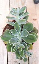 ECHEVERIA SETOSA Hoja Leaf Cutting suculenta Succulent plant