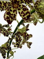 Grammatophyllum Species ´Black Tiger´ Duft Orchidee Orchideen