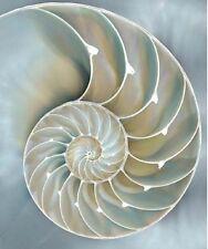 Caroline Kelly: Nautilus in Blue II Fertig-Bild 50x60 Wandbild Muscheln maritim