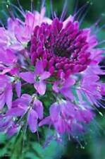 Light Purple Spider Flower (Cleome) 25 Seeds - Bold Bright Color! Comb.S/H!