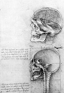 Leonardo Da Vinci Left side view of a Skull  Anatomy Poster Print Art