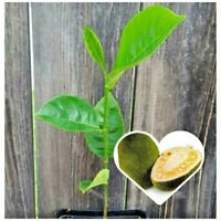 Live Jackfruit Tree Seedling Plant w/Roots Delicious Artocarpus Heterophyllus