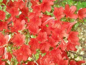 10 RED CUMBERLAND AZALEA Rhododendron Cumberlandense Bush Shrub Flower Seeds