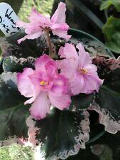 African Violet Plant - Wrangler's Dixie Celebration (starter plant) Standard