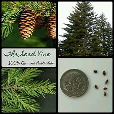 10+ RED SPRUCE SEEDS (Picea rubens) Conifer Evergreen Bonsai Ornamental Garden