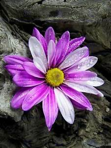 PHOTO NATURE PLANT FLOWER DAISY DRIFTWOOD PINK PURPLE POSTER PRINT BMP10847