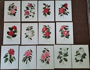 Vintage Set of 13 Art Prints Camellias Paul Jones Flowers Floral Botanical 1950s