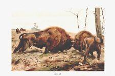 WISENT Bison bonasus  Büffel Rind  Lithographie um 1900