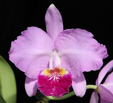 Orchid species Cattleya lueddemaniana x lueddemaniana 'Fred's Dark'