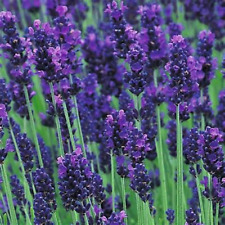 Five Lavender Hidcote  - 5 augustifolia Hidcote - 5 Evergreen Perennial Plants b