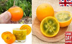 Naranjilla (Solanum Quitoense) 50 fresh seeds. UK seller. Same Day Dispatch