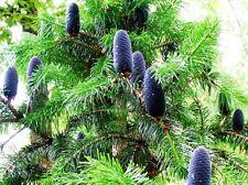 West Himalayan Fir - ABIES PINDROW - 10 Seeds - Trees