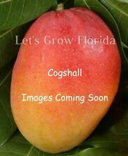 1 Mango YILE Tree Mango YILE Luxurious Mango RARE JEREMIE Haiti ONLY  Mango Tree