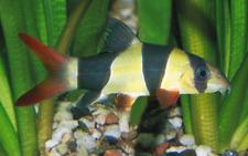 """Premium Clown Loach medium 2.5-3"""" live freshwater aquarium fish"""