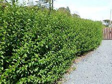 27 Green Privet Hedging Plants Ligustrum Hedge 40-60cm,Dense Evergreen,Big Pots