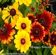 Black Eyed Susan De Alto - 1200 semillas-Golden Coneflower Mix-Rudbeckia intransitable