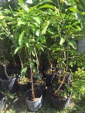 Grafted Nam Doc Mai Mango Fruit Tree 2-3 Feet tall