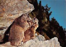 Br43915 Marmotte marmot animaux animals