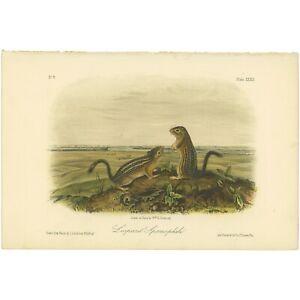 Audubon Octavo Quadruped 1849 hand-colored lithograph Pl 39 Leopard Spermophile