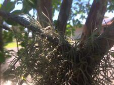Air Plant / Spanish Moss / Old Mans Beard / Tillandsia Usneoides