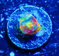 Cornbred's Rainbow Crush Chalice - Wysiwyg - Frag - Live Coral
