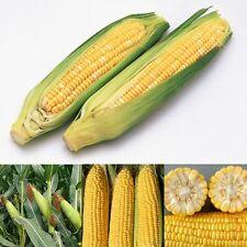 Sweet Yellow Corn 100 Seeds Organic Heirloom Vegetable Seed Hot Sale