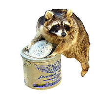 Raccoon In Minnow Bucket Professional Taxidermy Mounted Animal Statue Gift