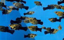 7 GOLD DUST MOLLY MOLLIES LIVE TROPICAL FRESHWATER LIVEBEARER AQUARIUM FISH