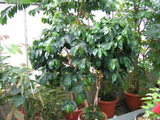 Coffea Plant Seeds - Ugandan Robusta - Tropical Houseplant -Gmo Free - 100 Seeds