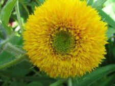Garten-Sämereien & -Zwiebeln Helianthus