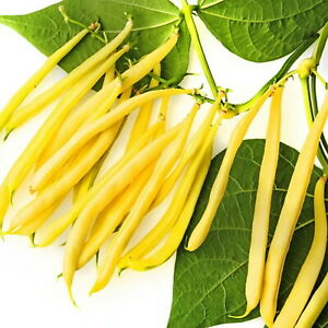 Butter Beans (Cherokee Wax Bean)  X 10 Vegetable seeds Organic Heirloom seed 🌿