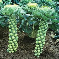 Brussel Sprouts 100 Seeds 'Long Island Improved' Compact Frost Hardy BUMPER CROP