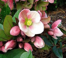 15+ CHRISTMAS ROSE, HELLEBORUS /  PERENNIAL SHADE PERENNIAL WINTER FLOWER SEEDS