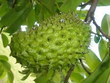 SOURSOP (Annona Muricata) Tropical Fruit Tree