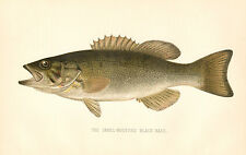 Rare 1892 Antique Denton Fish Print Small Mouthed Black Bass Excellent Details!