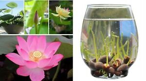 [EXTRA 15% OFF] Aquatic Plants Gardens Water Bowl Lotus Seeds 10pcs