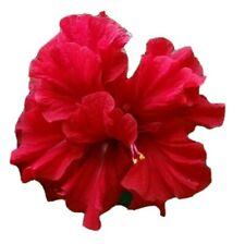 """DOUBLE RED HIBISCUS~ STARTER LIVE PLANT 5"""" TALL PLUG SIZE"""