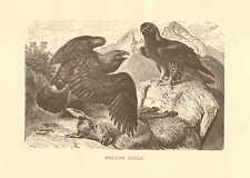 Golden Eagle, Birds Of Prey, Feeding On Deer, Vintage 1885 Antique Art Print