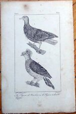 Le Pigeon De Nicobar, Le Pigeon a Double Huppe 1830s French Bird Print