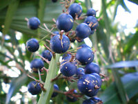 Native Blue Ginger Seed Bush Tucker No Frost/Drought Alpinia caerulea Evergreen