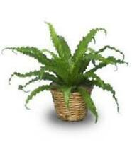 """Plant Bird's Nest Fern 4""""Pot Indoor Outdoor Garden Plants Best Gift Yard New"""