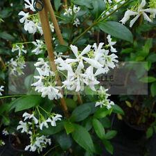 Trachelospermum Sternjasmin  ca. 90 - 110 cm jasminoides winterhart duftend