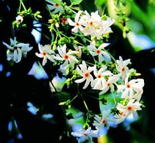 Nyctanthes arbor tristis Fragrant Jasmine Pint Plant FREE SHIP
