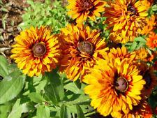 RUDBECKIA MOROCCAN SUN FLOWER 200 SEEDS MIX