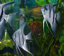 Peixe-anjo
