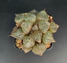 Haworthia cv. SPRING THUNDER