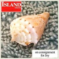 "GEM! Conus memiae 26.1mm ""BIG"" RARE BEAUTY from the Philippines"