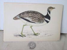 Vintage Print,LITTLE BUSTARD,British Birds,Morris,c1860