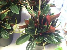 """PEPEROMIA - ROSSO - LIVE PLANT - 4"""" POT - LARGE - 1 PLANT"""