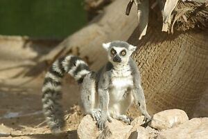 Ring Tailed Lemur Taxidermy Reference Photo Cd